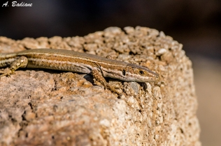 Catalonian wall lizard - Podarcis liolepis - Valencia, Spain