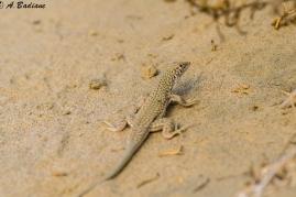 Schmidt's Fringe-toed Lizard - Acanthodactylus schmidti - Southern Qatar
