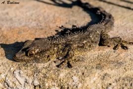 Moorish Gecko - Tarentola mauritanica - Valencia, Spain