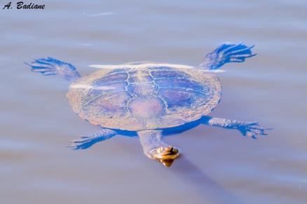 Eastern Long-neck Turtle - Chelodina longicolis - Tidbindilla NP, Canberra, Australia