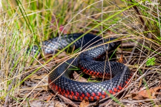 Red-Bellied Black Snake - Pseudechis porphyriacus - Tidbindilla NP, Canberra, Australia