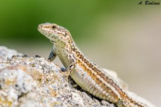 Female Common Wall Lizard - Podarcis muralis - Pyrenees