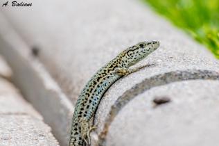 Catalonian Wall Lizard - Podarcis liolepis - Pyrenees
