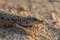 Blandford's Short-nosed Desert Lizard - Mesalina brevirostris - Zekreet Peninsula, Qatar