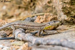 Female Catalonian Wall Lizard - Podarcis liolepis - Pyrenees