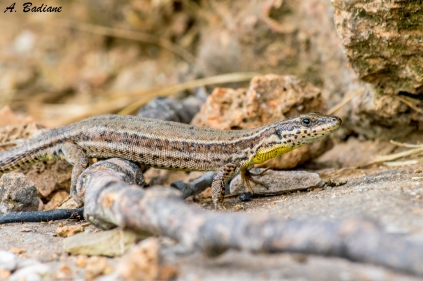 Female Catalonian Wall Lizard - Podarcis liolepis - Pyrenees