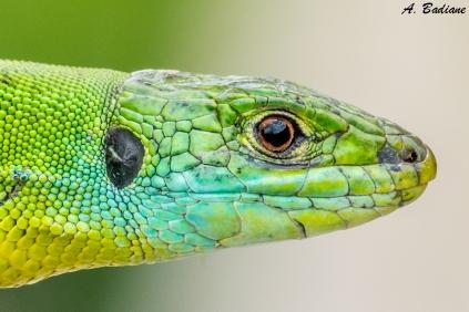 Western Green Lizard - Lacerta bilineata - Pyrenees