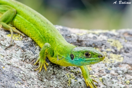 Female Western Green Lizard - Lacerta bilineata - Pyrenees