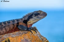 Eastern Water Dragon - Intellegama lesieurii - Lion Island, Sydney, Australia