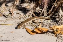 Golden Grass Mabuya - Trachylepis septemtaeniata - Doha, Qatar