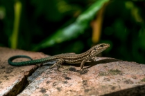 Spanish Wall Lizard - Podarcis hispanicus - Granada, Spain
