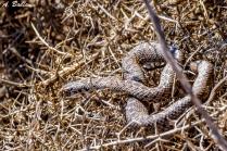 Male Montpellier snake - Malpolon monspessulanus - Valencia, Spain