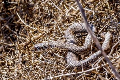 Male Montpellier snake - Malpolon monspessulanus - Valencia, Spain