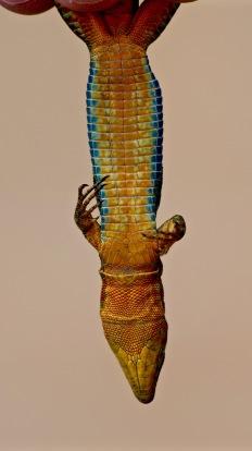 Podarcis filfolensis, Malta