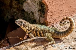 Cuban Curlytail Lizard - Leiocephalus cubensis - Trinidad, Cuba
