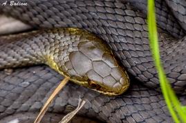 Marsh Snake - Hemiaspis signata - North Head, Sydney