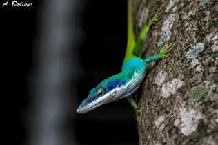 Allisson's Anole - Anolis allissoni - Camaguey, Cuba