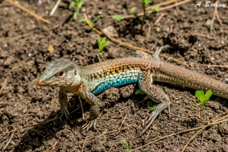 Jungle-runner (sp?) - Ameiva ssp - Camaguey, Cuba
