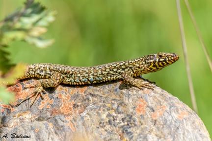 Common Wall Lizard - Podarcis muralis - Pyrenees