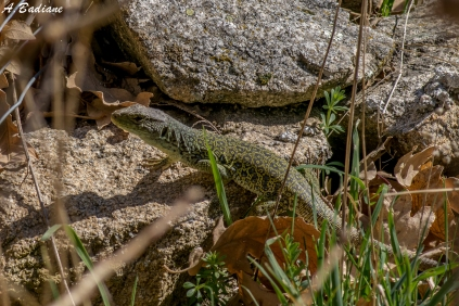Oscellated Lizard - Timon lepidus - Moralzarzal, Madrid, Spain