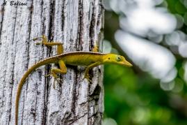 Cuban Green Anole - Anolis porcatus - Baracoa, Cuba