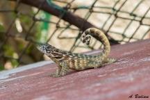 Northern Curlytail Lizard - Leiocephalus carinatus - Varadero, Cuba
