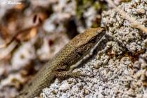 Pygmy Algyroide - Algyroides fitzengeri - Corsica, France