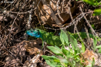 Western Green Lizard - Lacerta bilineata - Senlisse, around Paris