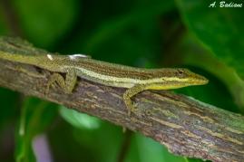 Cuban Twig Anole - Anolis angusticeps - Viñales, Cuba