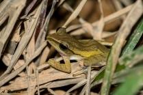 Common Tree Frog - Polypedates leucomystax - Singapore