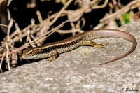 Eastern Water Skink - Eulamprus quoyii - Sydney, Australia