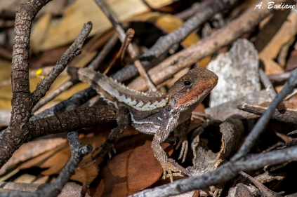 Mountain Heath Dragon - Rankinia diemensis - Bribane Water NP, Central Coast, Australia