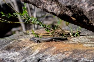 White Skink - Liopholis whitii - Brisbane Water NP, Central Coast, Australia
