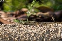 Italian Wall Lizard - Podarcis siculus - Monterado, Marches, Italy