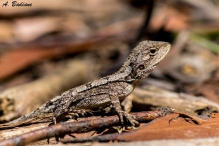 Juvenile, Jacky Dragon - Amphibolorus muricatus - Royal NP, Sydney, Australia