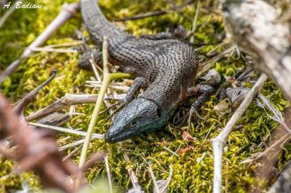 Blue-throat Keeled Lizard - Algyroides nigropunctatus - Cres Island, Croatia