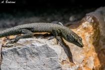 Sharp-snouted Rock Lizard - Dalmatolacerta oxycephala - Cres Island, Croatia