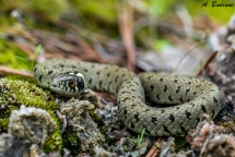 Grass Snake - Natrix natrix - Benageber, Valencia, Spain