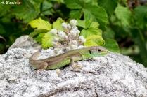 Western Green Lizard (Juvenile) - Lacerta bilineata - Cres Island, Croatia