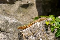 Dalmatian Wall Lizard - Podarcis melisellensis - Cres Island, Croatia