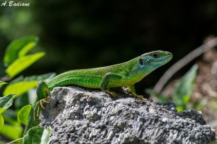 Western Green Lizard - Lacerta bilineata - Cres Island, Croatia