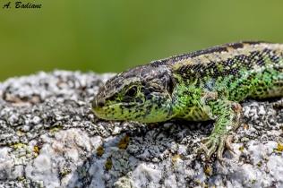 Sand lizard - Lacerta agilis - Pyrenees, France