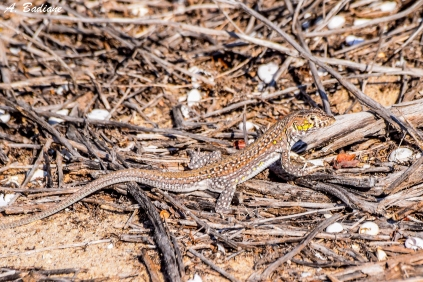 Spiny-footed Lizard - Acanthodactylus erythrurus - El Saler, Valencia, Spain