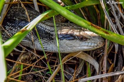 Blue-tongue Skink - Tiliqua scincoides - Palm Beach, Sydney