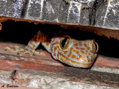 Tokay Gecko - Gekko gecko - Ujung Kulon NP, Indonesia
