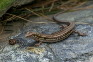 McCann's Skink - Oligosoma mccanni - Gibbston Valley, New Zealand